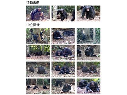 仲間の情動に反応するチンパンジー