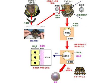 100年来の真珠養殖技術を解明