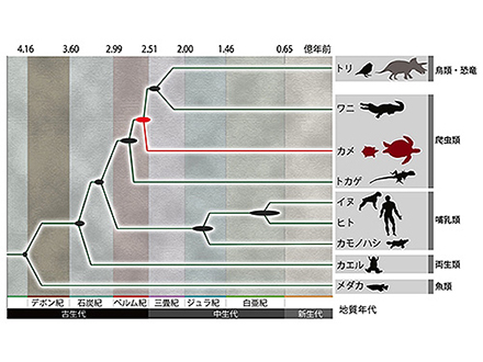 カメはトリ・ワニ・恐竜の親戚だった