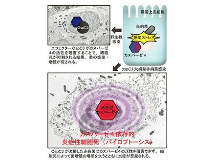 生か死か、炎症と細胞死の関連判明