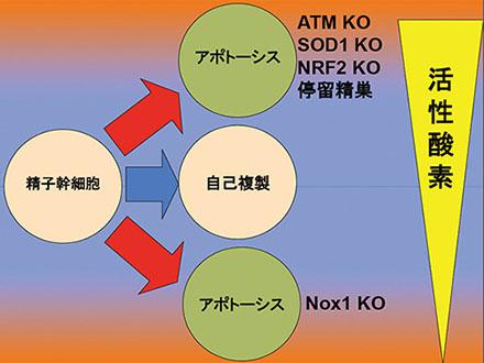 不妊となる着床不全はある遺伝子の発現量低下が原因 東京医科歯科大が解明