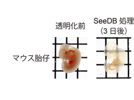 細胞組織を透明化する新試薬