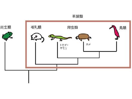 スローな爬虫類の脳形成