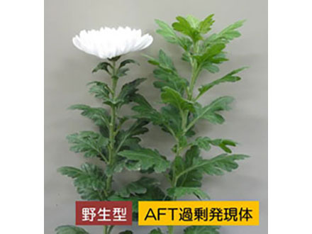開花を抑制する植物ホルモン発見