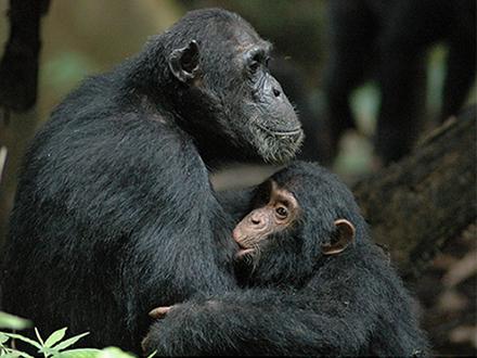 """""""垣間見""""が不得手なチンパンジー"""