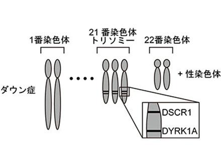 ダウン症の神経細胞形成に関わる2遺伝子