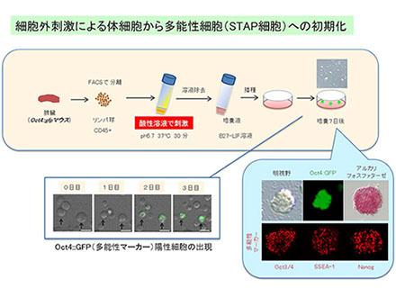 """""""酸性刺激""""で新たな多能性細胞"""