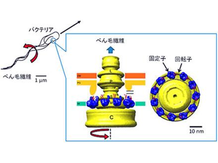 大腸菌のハイブリッドモーターを作製