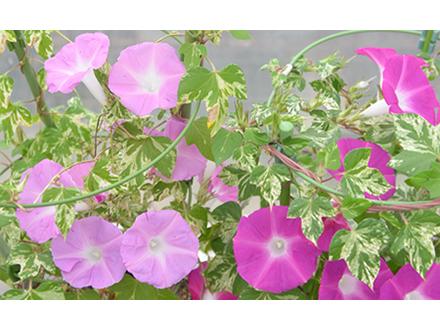 花の色を濃くするタンパク質を発見