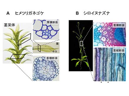 乾燥に強くなる植物ペプチドを発見 乾燥に強い農作物の栽培に役立つ可能性