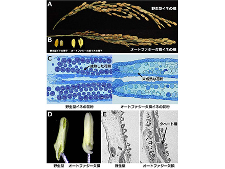 植物の花粉管、細胞核が先端部になくても胚珠に到達