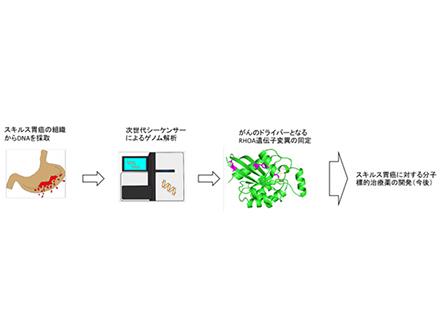 胃の重要な免疫の働きを発見 ピロリ菌感染対策に期待 理研など