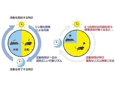 カルシウムによる体内時計調節を解明