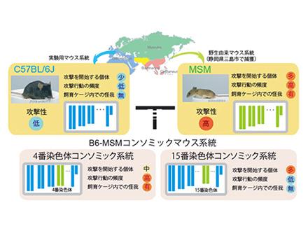 攻撃行動促す染色体をマウスで発見