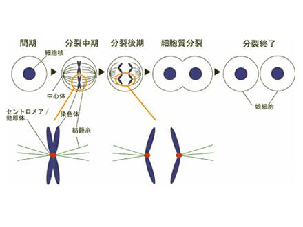 染色体分配の鍵握るスイッチを発見