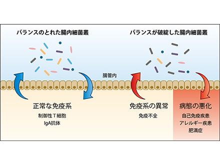 腸内細菌と免疫系の支えあいを発見