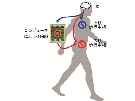 脊髄の一部を迂回して脚動かすのに成功