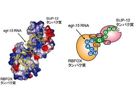タンパク質が2つ協働してRNA認識