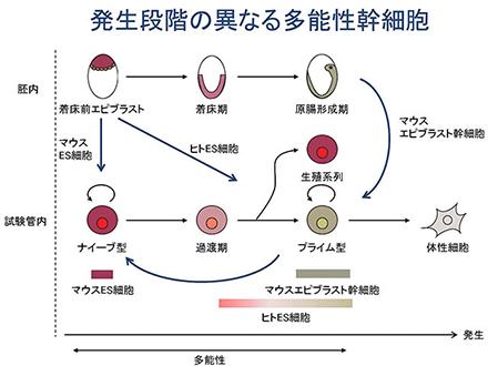 ヒト多能性幹細胞の一層の初期化成功