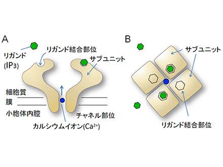 カルシウムチャネル制御の仕組み発見