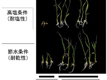 イネの根の張り方を制御する遺伝子発見 塩害対策に期待