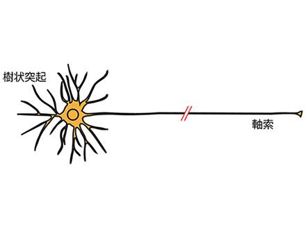 神経軸索の集団的伸長支える仕組み解明