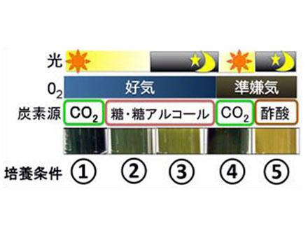 温泉紅藻がレアアースを効率よく吸収