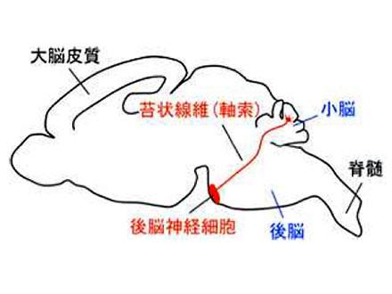 脳神経回路を正しくつなぐ仕組み発見