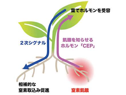 養分不足なら他の根で吸収する仕組み発見