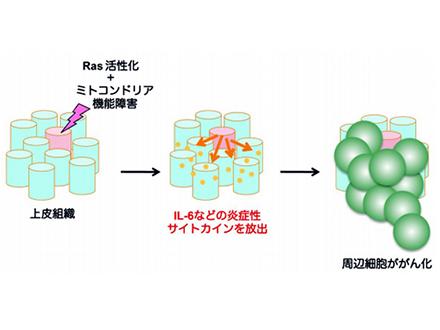 老化による幹細胞のがん化機構、ショウジョウバエで解明 理研など