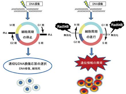 異常な遺伝情報が蓄積する仕組み発見