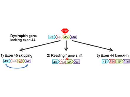 iPS細胞で筋ジス遺伝子修復に成功
