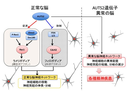 多様な精神疾患に関わる遺伝子の働き解明