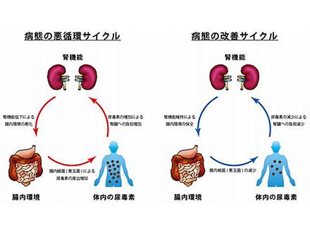 便秘症の薬が腎臓病に効く可能性示す