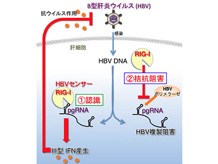 B型肝炎ウイルスを抑制する仕組み発見
