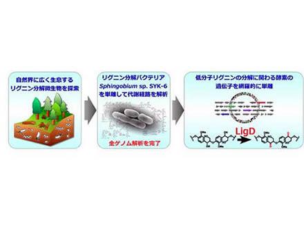 イネの遺伝子でポプラの木質を大幅増強