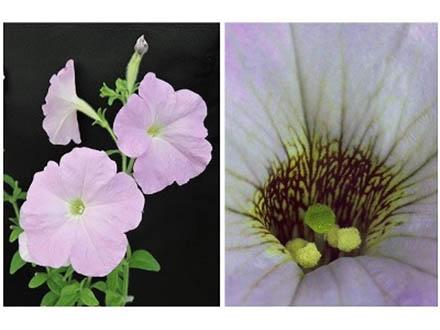 植物が自家受精を避ける遺伝子セット解明