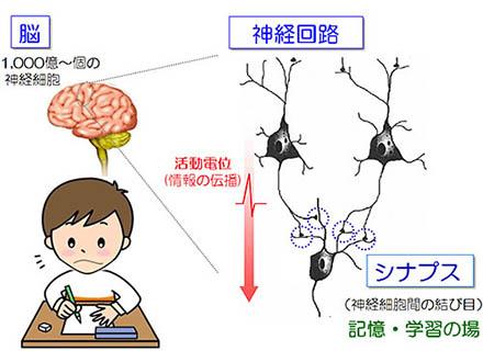 神経回路の形成に必須なタンパク質発見