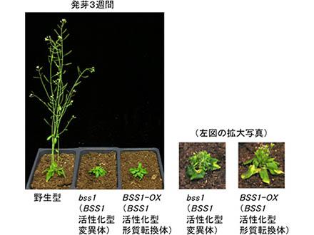 タンパク質「集合と拡散」が草丈を制御