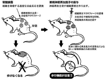 幹細胞移植とリハビリで脊髄機能回復 マウス実験で相乗効果