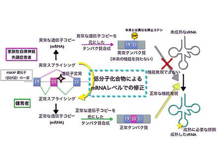 遺伝病をRNA操作で治せる新薬を開発