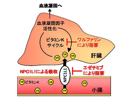 小腸でのビタミンK吸収の入り口を発見