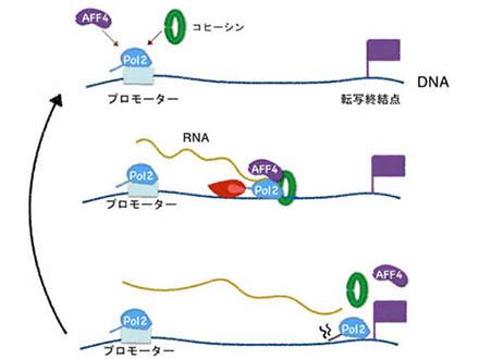 DNAを切らずにゲノム編集 神戸大など安全・確実な新手法開発