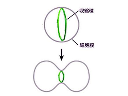細胞分裂起こす収縮環の謎の一端を解明