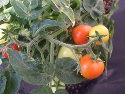 「青いトマト」の毒の合成遺伝子を発見 ジャガイモ毒抑制にも応用