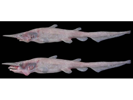 深海のミツクリザメは「飛び出す顎」で捕食 映像解析で判明