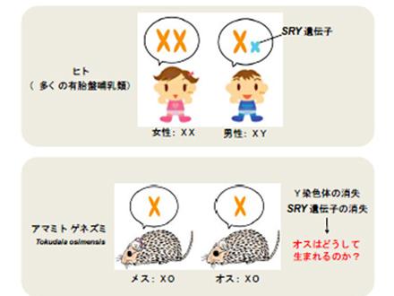 日本のハツカネズミのルーツを解明 日本人起源の考察上重要と北大グループ