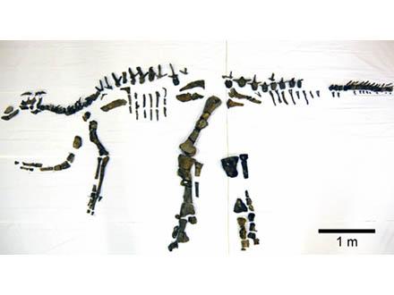 国内最大の恐竜の全身骨格と判明 北海道・むかわ町の化石