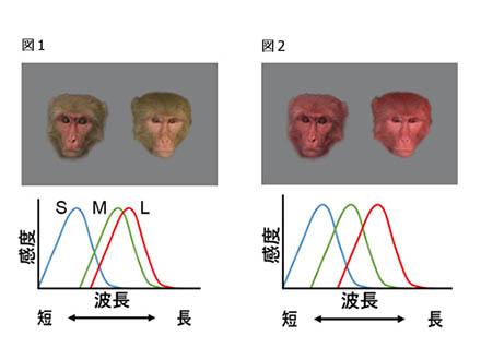 霊長類の目は、「顔色」を読み取りやすくできている