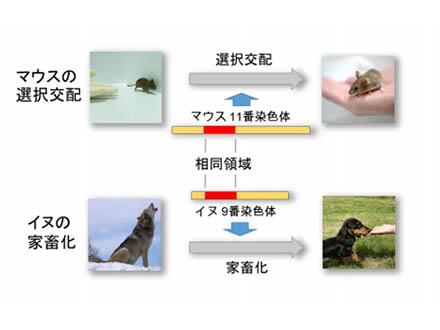 人になつく動物の遺伝子領域を解明 国立遺伝学研究所